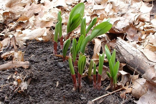 Early Wild Ramps = Ramps Vegetable