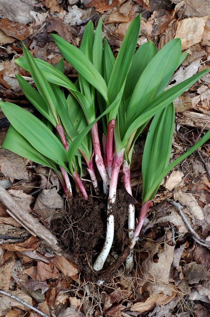 Medium Size Wild Ramps