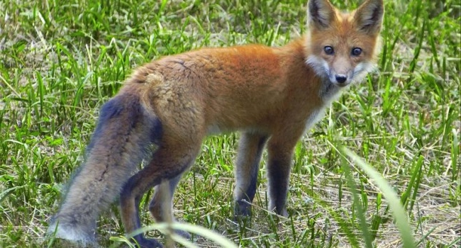 Wild WV Fox